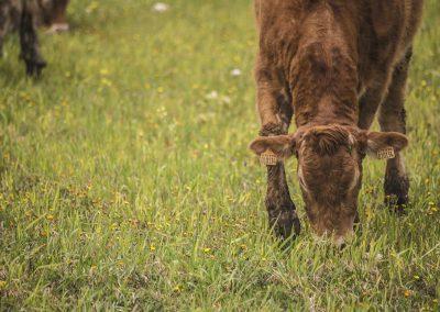 vacca limousine al pascolo