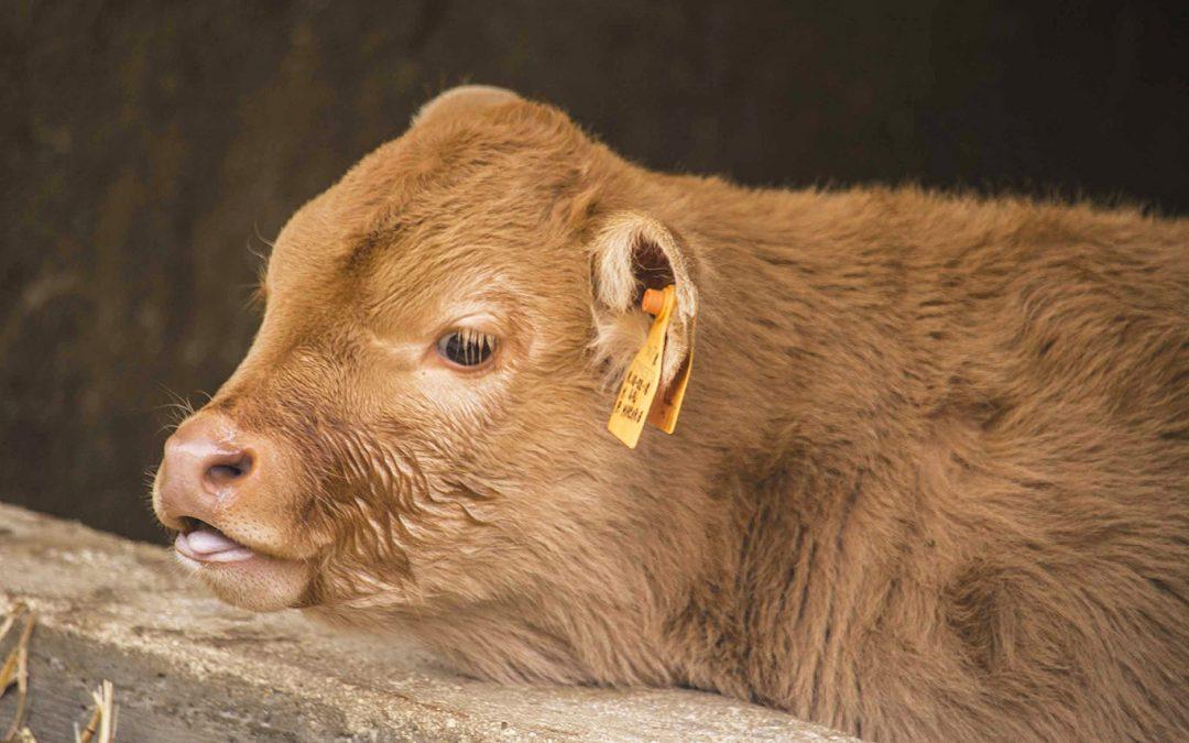 Il vitello Limousine: carne bianca di qualità