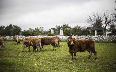 Come riconoscere una vacca limousine