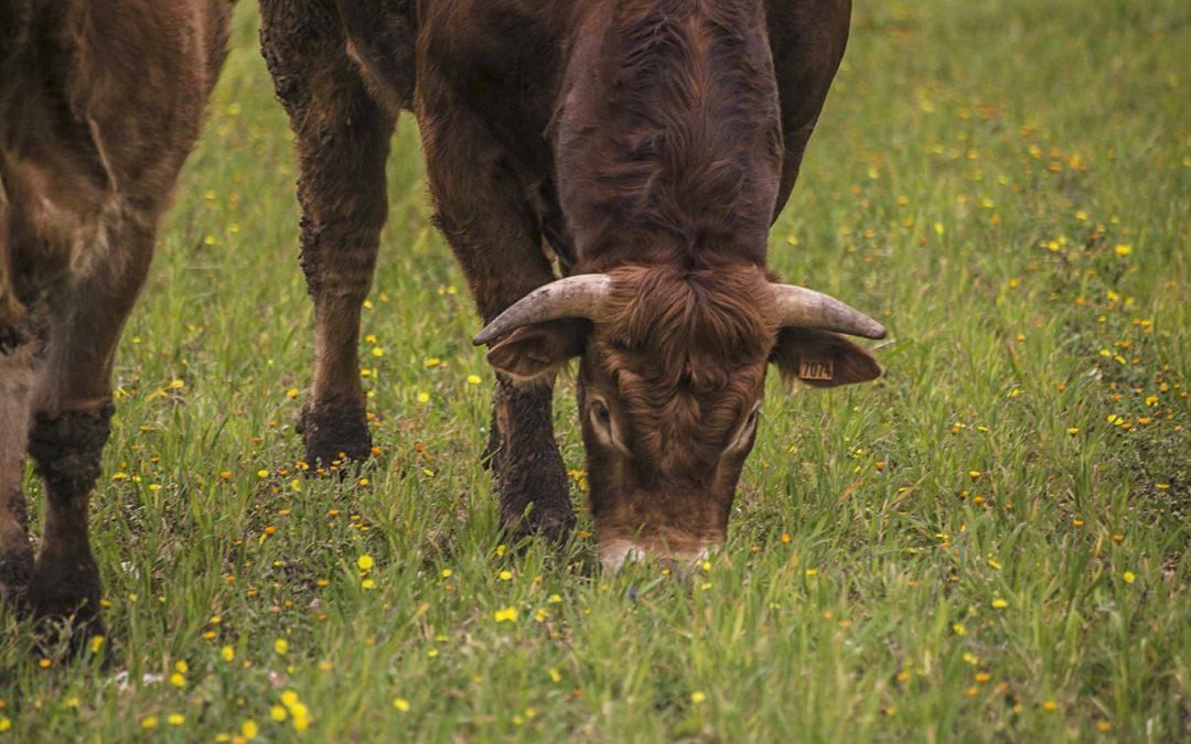 Il toro Limousine ottimo animale da incrocio