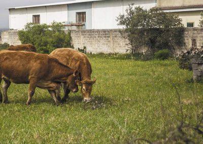 mucche limusin