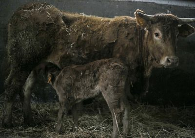 mucca limousine con vitello