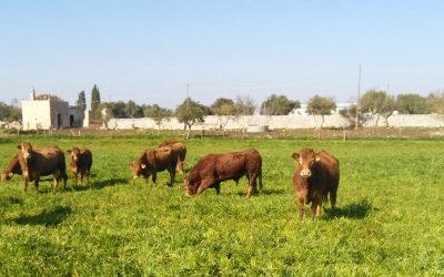 Scopri la diffusione della razza Limousine in Puglia e Basilicata