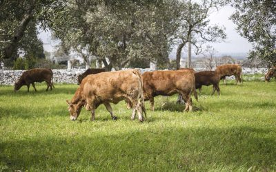 I vitelli limousine, se allevati bene, riservano grandi soddisfazioni