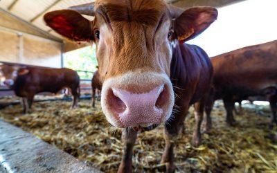 Tutto sui vitelli Limousine: peso, provenienza, corporatura